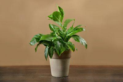 צמח טרופי גדול בחרס